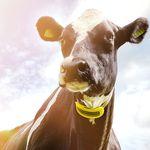 牧群监控系统 / 奶牛 / 健康状况